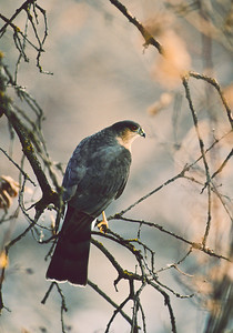 Sharp-Shinned Hawk-102-1