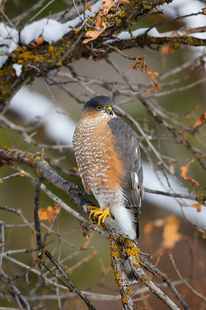 Sharp-Shinned Hawk-5566