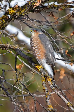 Sharp-Shinned Hawk-5839