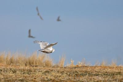 Snowy Owl-144