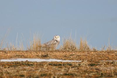 Snowy Owl-112