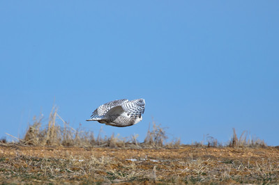 Snowy Owl-139