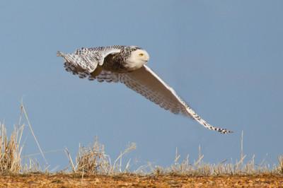 Snowy Owl-134