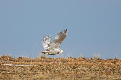 Snowy Owl-137