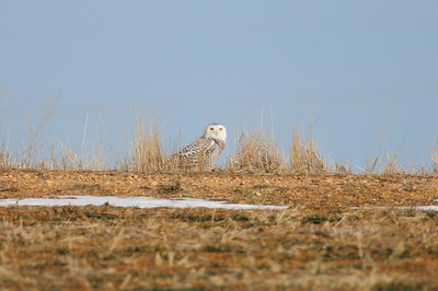 Snowy Owl-129