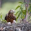 Square-tailed Kite-3395©DavidStowe
