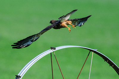 Swainson's Hawk-183