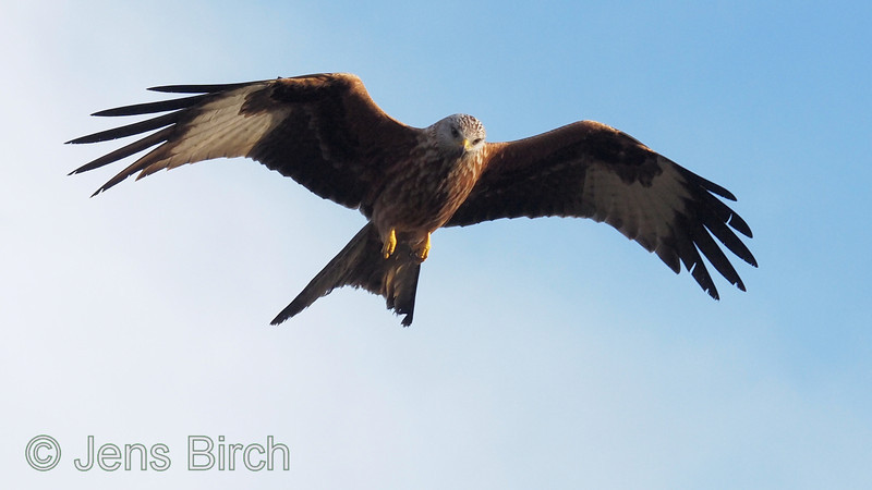 Red kite (<i>Milvus milvus</i>) (glada). Taken with the aid of a Gobi Swing² pod in Scanian Eagles' hide hide. Scania (Skåne), January 2012