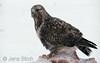 Rough-legged buzzard (Buteo lagopus). Fjällvråk.