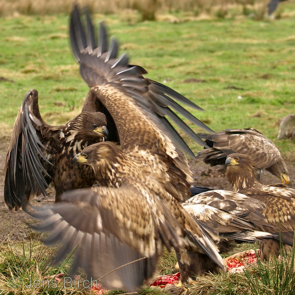 Juvenile white-tailed eagles (havsörnar) fighting over a carcass. Skåne, Sweden, February 2008.