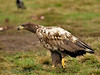 A juvenile <b>white-tailed eagle</b> <i>Haliaeetus albicilla</i> out for a walk.  En ung havsörn på promenad. Skåne Februari 2008.