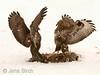 Two buzzards (Buteo buteo) are 'measuring' each other to see who will have to yield and leave the dinner hare for the other.<br /> Två ormvråkar mäter sig med varandra. Den som inte håller måttet måste lämna ifrån sig middagsharen till den andre.