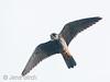Hobby (Falco subbuteo) (lärkfalk). Female, Vårhallen 2011.