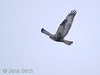 Rough-legged buzzard (<i>Buteo lagopus</i>), fjällvråk, Copyright Jens Birch
