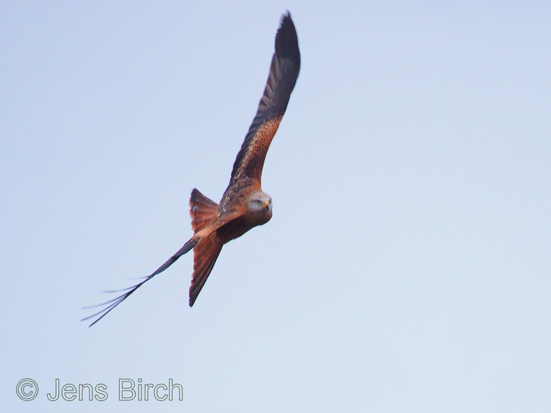 """A red kite (<i>Milvus milvus</i>) (glada) banking strongly to the right in the strong winds of the storm """"Emil"""" around Scanian Eagles' hide. Capturing this fast action was possible thanks to the Gobi Swing² pod in the hide. Scania (Skåne), January 2012"""