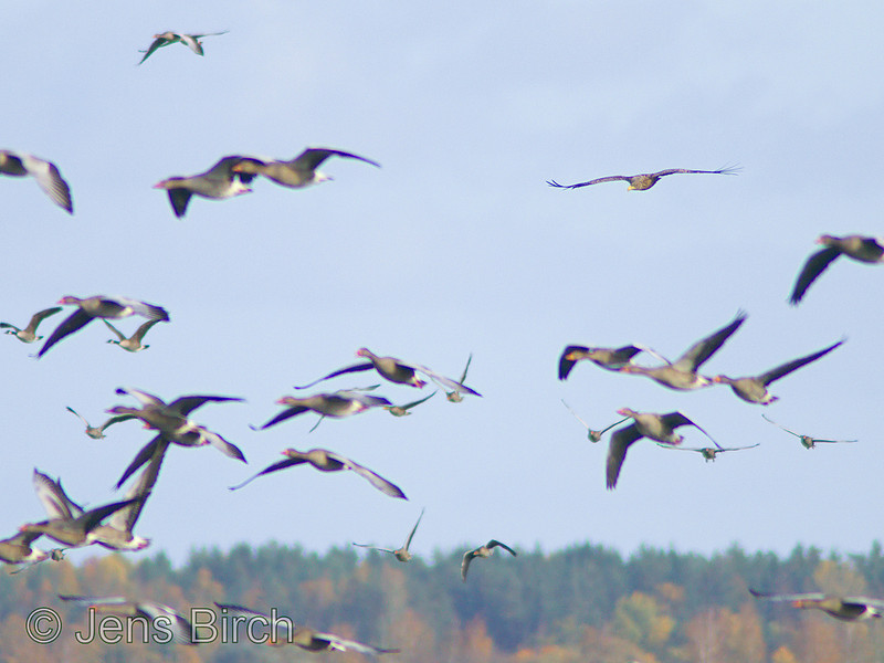 Hey... what happened? Where did all those confusing geese come from? The White-tailed eagle (Haliaetus albicilla) (havsörn) is about to miss out on a nice goose for lunch .<br /> Lake Roxen, Sweden, October 2008.
