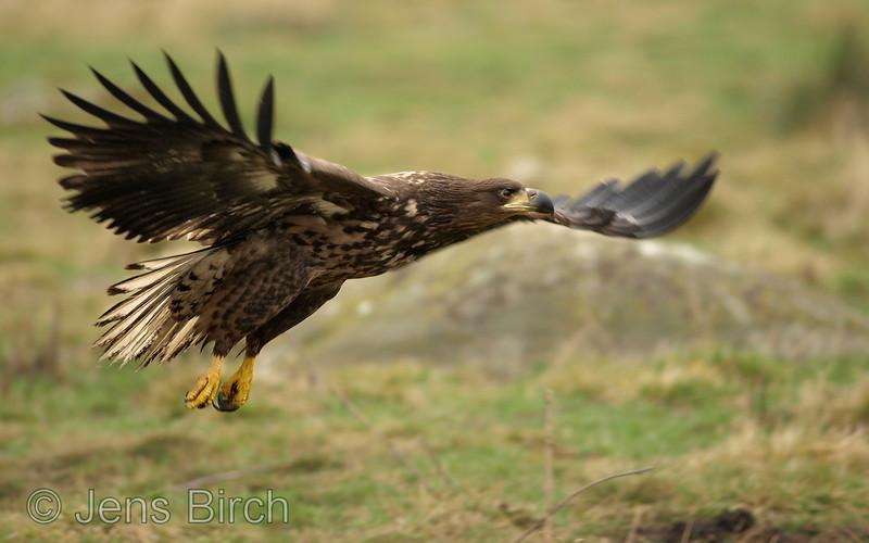 White-tailed eagle (Haliaetus albicilla) (juvenile), Scania, south Sweden February 2008  Copyright Jens Birch