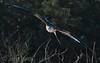 Red kite (Mivus milvus), glada.