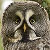 Great greay owl (Strix nebulosa) (Lappuggla), Måsalycke mosse, St Olof, October 2012
