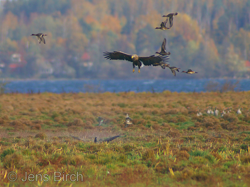 A White-tailed eagle (Haliaetus albicilla) (havsörn) lowers its shadow of death over a wounded Canada goose (Branta canadensis), hopelessly fighting to get in the air. Lake Roxen, Sweden, October 2008.