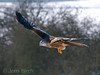 Red kite (Mivus milvus), glada.