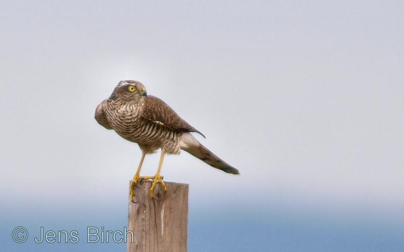 Sparrow hawk (<i>Accipiter nisus</i>), sparvhök, Roxen september 2009.