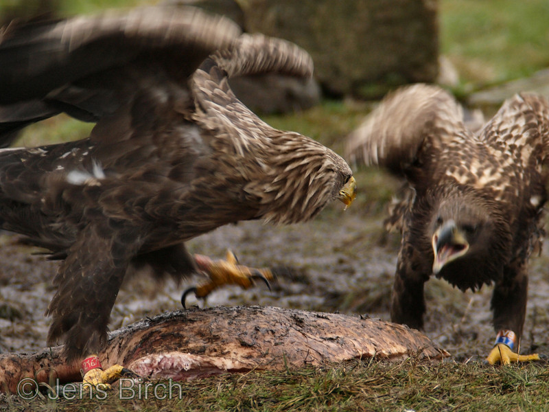 White-tailed eagles (Haliaetus albicilla) (adult and juvenile) fighting over a piece of meat, Scania, south Sweden February 2008  Copyright Jens Birch