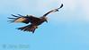 Red kite (<i>Milvus milvus</i>) (glada). Taken with the aid of a Gobi Swing² pod in Scanian Eagles' hide hide. Scania (Skåne), January 2012