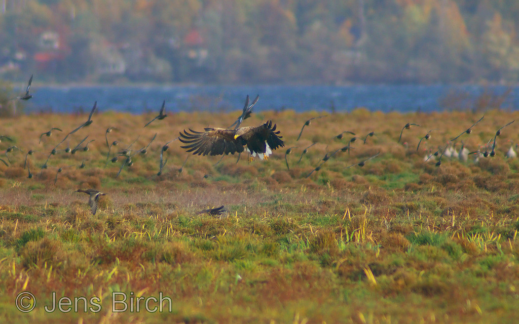 A White-tailed eagle (Haliaetus albicilla) (havsörn) soon to finish the wounded Canada goose (Branta canadensis). The greylag geese are watching while wigeons and gadwalls swirl in panic. Lake Roxen, Sweden, October 2008.