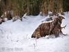 A <b>rough-legged buzzard</b> (<i>Buteo lagopus</i>) managed to chase away a <b>common buzzard</b> (<i>Buteo buteo</i>) from its meat. Fjällvråken har lyckats jaga ormvråken på flykten och kan återgå till att äta.