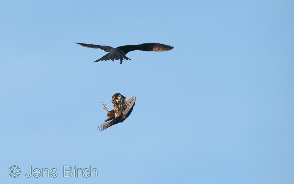 The male hobby (<i>Falco subbuteo</i>) (lärkfalk) delivers a small bird to his mate (below).  #4 - She puts the bird in her own beak.   Vårhallen 2011.