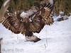 A <b>rough-legged buzzard</b> (<i>Buteo lagopus</i>) being attacked by a <b>common buzzard</b> (<i>Buteo buteo</i>) at the carrion. En fjällvråk blir attackerad av en ormvråk vid åteln.