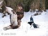 A <b>rough-legged buzzard</b> (<i>Buteo lagopus</i>) chasing away a <b>magpie</b> (<i>Pica pica</i>) from its food. En fjällvråk jagar bort en skata från maten.