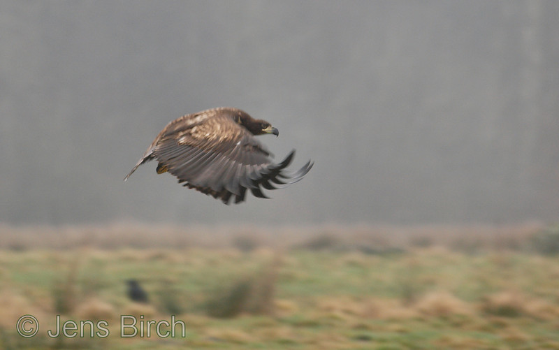 Juvenile white-tailed eagle (Haliaetus albicilla) (Havsörn) taking flight. Skåne, Sweden, February 2008