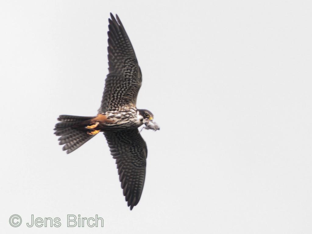 Hobby (Falco subbuteo) (lärkfalk).  Male, Vårhallen 2011.