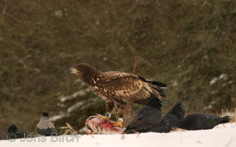Juvenile white-tailed eagle (Haliaetus albicilla) with ravens (Corvus corax) and hooded crow (Corvus corone cornix). <br /> Ung havsörn med korpar och kråka.