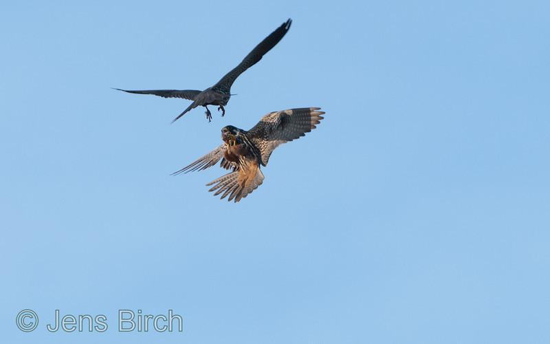 The male hobby (<i>Falco subbuteo</i>) (lärkfalk) delivers a small bird to his mate (below).  #3 - Got it!.   Vårhallen 2011.