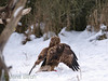 A <b>rough-legged buzzard</b> (<i>Buteo lagopus</i>) being attacked by a <b>common buzzard</b> (<i>Buteo buteo</i>) (upper left corner) at the carrion. En fjällvråk blir attackerad av en ormvråk vid åteln.