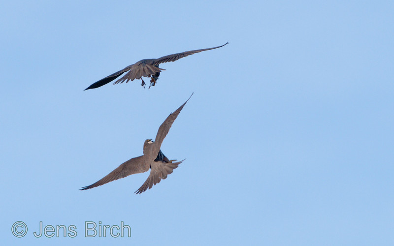 The male hobby (<i>Falco subbuteo</i>) (lärkfalk) delivers a small bird to his mate.  #1 -Sshe approaches from below.   Vårhallen 2011.