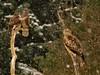 Red kite (Milvus milvus) & two buzzards (Buteo buteo) in the background.<br /> En glada med två ormvråkar i bakgrunden.