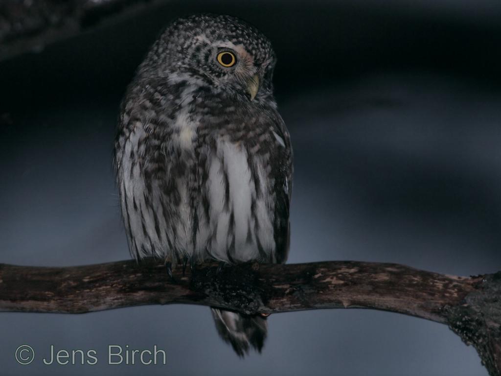 Eurasian pygmy owl (<i>Glaucidium passerinum</i>) (sparvuggla). Åbackarna, Simrishamn, December 2011.