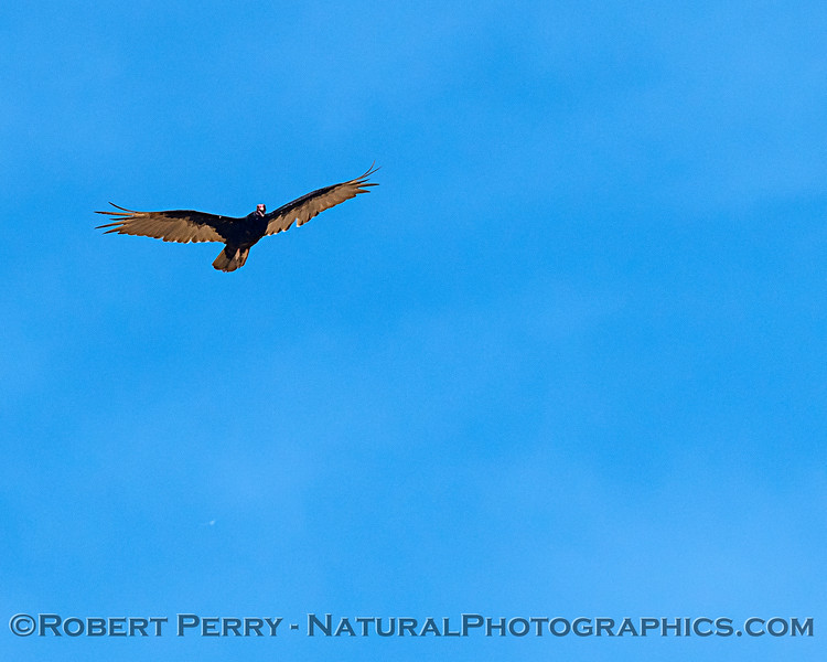 Cathartes aura vulture  in flight 2018 07-12 Yolo ByPass -b- 0015