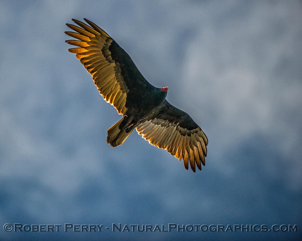 Cathartes aura Turkey vulture in flight CLOSE 2017 12-17 Gray Lodge Wildlife Area-057