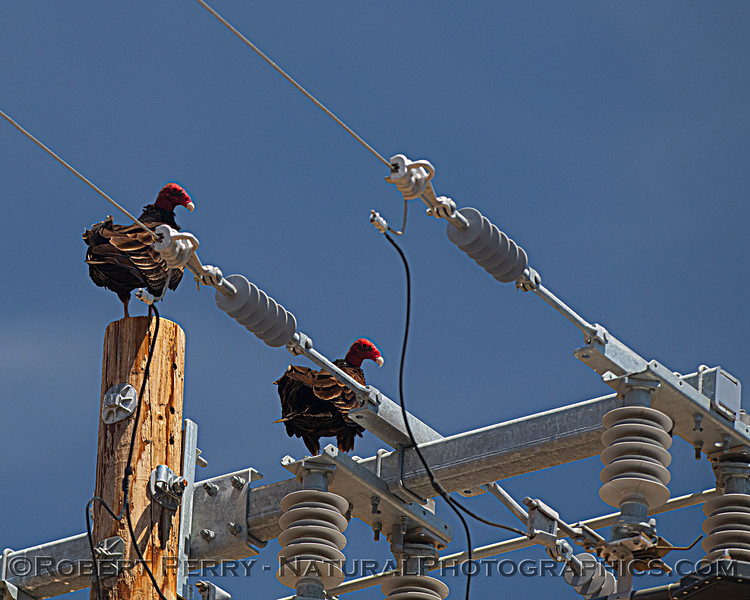Cathartes aura on power pole top 2021 05-28 Black Butte Lake--007