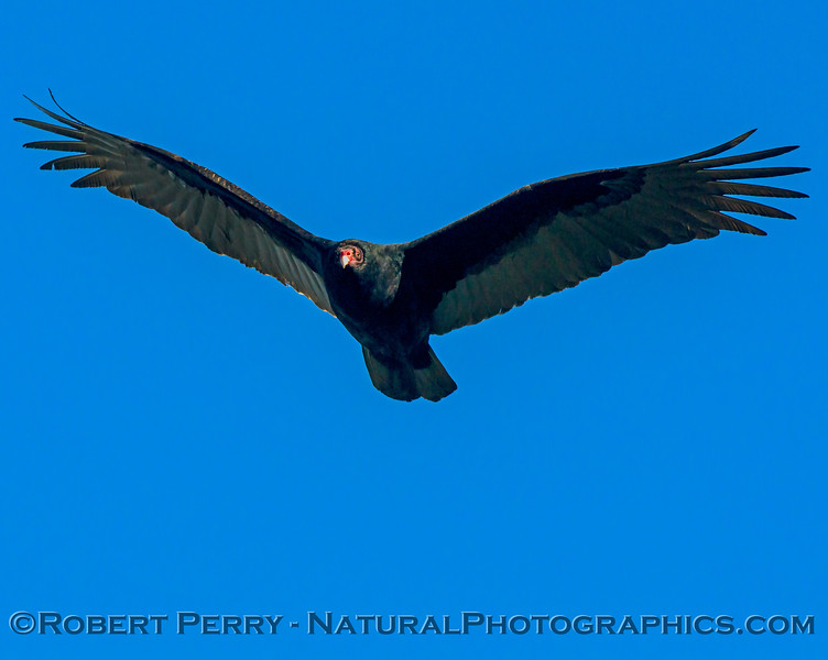 Cathartes aura Turkey vulture in flight CLOSE 2017 12-17 Gray Lodge Wildlife Area-c-012