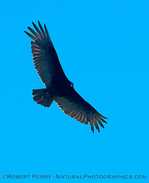Cathartes aura in flight 2020 04-13 Colusa County--007