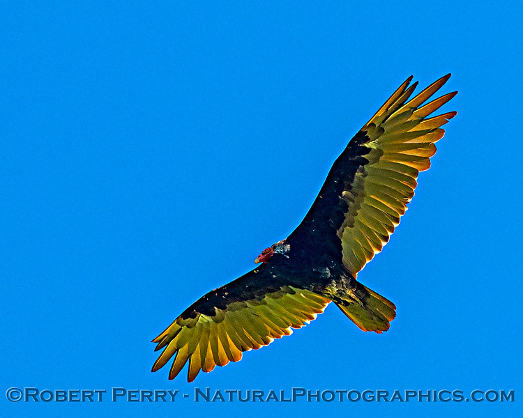 Cathartes aura Turkey vulture in flight CLOSE 2020 08-07 Colusa--056