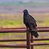 Cathartes aura turkey vulture 2016 12-12 Meiss Road-003