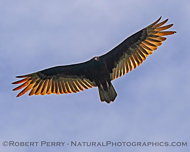 Cathartes aura Turkey vulture in flight 2019 05-20 Sac NWR--010