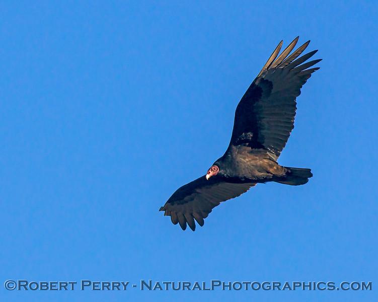 Cathartes aura Turkey vulture in flight CLOSE 2017 12-17 Gray Lodge Wildlife Area-008